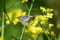 春の蝶を探しにウスバアゲハByヒナ - 仲良し夫婦DE生き物ブログ