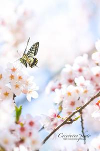 **桜とナミアゲハさん** - こころいろ*photo