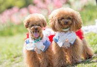 花とトイプー! - いとしい犬たちのフォトブログ