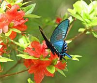 カラスアゲハつつじ咲く渓流で - 蝶のいる風景blog