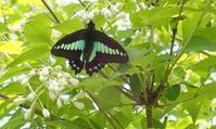 アオスジアゲハが元気に飛ぶ - 旅のかほり