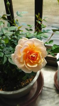 どこへ消えた?! - 箱庭の小さな薔薇の記録