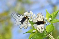 ウスバアゲハの群れ(2019/05/03) - Sky Palace -butterfly garden- II