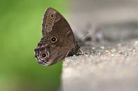 過剰紋のクロヒカゲ(2019/05/03) - Sky Palace -butterfly garden- II