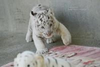 2019.5.5 宇都宮動物園☆ホワイトタイガーのグーナ【White tiger baby】 - 青空に浮かぶ月を眺めながら
