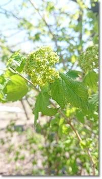庭の水仙たち&ビバーナム - 十色記