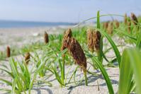 知多の海浜植物・コウボウムギ - Beachcomber's Logbook