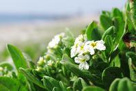 知多の海浜植物・スナビキソウ - Beachcomber's Logbook