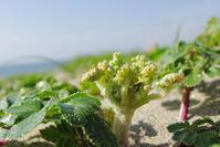 知多の海浜植物・ハマボウフウ - Beachcomber's Logbook