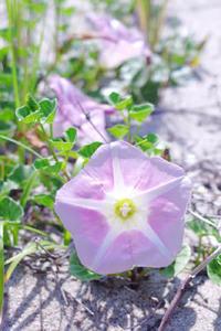 知多の海浜植物・ハマヒルガオ - Beachcomber's Logbook