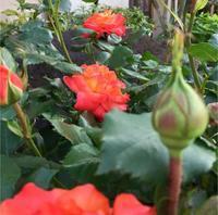 薔薇の名前 - 赤煉瓦洋館の雅茶子
