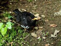 ♪この鳥なんの鳥気になる鳥・・・5月5日、ゴン太君。 - 朽木小川より 「itiのデジカメ日記」 高島市の奥山・針畑からフォトエッセイ