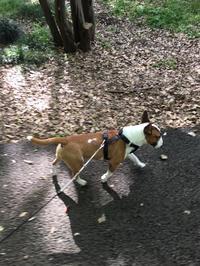 朝散歩は砧公園で - ミニチュアブルテリア ダージと一緒3