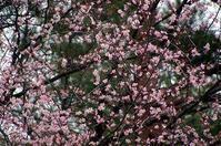 桜咲く - 北軽1130