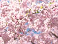 桜 - morioka暇人日記2