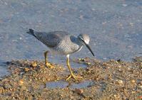 近所の河原で野鳥観察 - AR75TS
