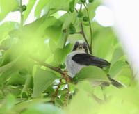 エナガのヒナ、 - ぶらり探鳥
