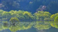 水没林と山桜 - yama10フォトライフ