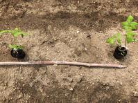 ミニトマトの植え付け - Salad Days