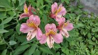 アルストロメリア開花 - うちの庭の備忘録 green's garden