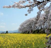 わたしは、奈良派。(Fête de Fleurs de Cerisier en Nara) - ももさへづり*やまと編*cent chants d'une chouette (Yamato*Japon)