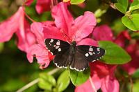 嵐山町の蝶たち - Sky Palace -butterfly garden- II