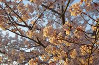 早朝の桜 in 姫路城(2019/4/13)其の④ - 南の気ままな写真日記