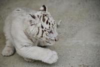 2019.5.6 宇都宮動物園☆ホワイトタイガーのグーナくん♪【White tiger baby】 - 青空に浮かぶ月を眺めながら