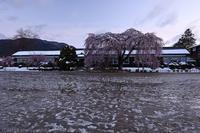 杵原学校 枝垂れ桜 - photograph3