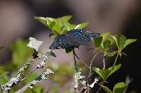 スミナガシGW 高知市にて - 超蝶