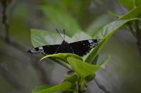 スミナガシ2GW 高知市にて - 超蝶