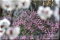 平岡梅林公園は花盛り - 北海道photo一撮り旅