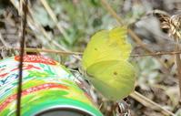 ヤマキチョウの蝶道が見えた - 2019 浅間暮らし(ヤマキチョウ便り)