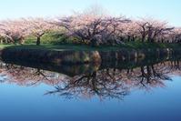 さくらサクラ桜(函館) - お茶にしませんか2