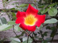 ふたつ目のバラの開花 - しらこばとWeblog