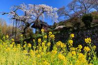 桜咲く京都2019地蔵禅院のしだれ桜 - 花景色-K.W.C. PhotoBlog