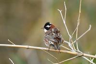 カシラダカ(Rustic Bunting)/2019.05 - Birding  in  Japan!