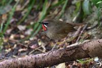 ノゴマ(Siberian rubythroat)/2019.05 - Birding  in  Japan!