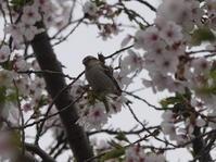 桜とニュウナイスズメさん。 - ヒロムシ君のお散歩日記