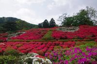 小室山公園のツツジに - 山の花、町の花