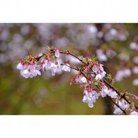 富士桜がお出迎え - カエルのバヴァルダージュな時間