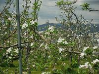 りんごの授粉作業そして花摘みへ - 信州ピース&ナチュラルだより