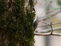 キバシリ - Bird Healing