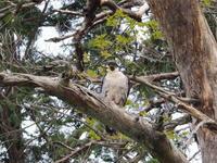 ハヤブサが撮れました - コーヒー党の野鳥と自然 パート2