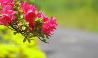 赤・白・ピンク・・ - 花々の記憶