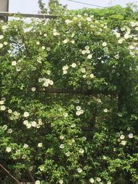 なにわいばらと木香薔薇 - 小さな幸せ 田舎の主婦は多忙です。 chiyoko