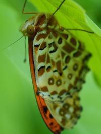 ツマグロヒョウモンのオス?  Argyreus hyperbius - 写ればおっけー。コンデジで虫写真