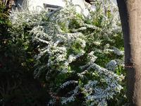 ユキヤナギとスターダスト・チヨミと、どちらもここ数年で一番の咲きっぷり♪ - 窓の向こうに