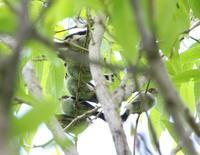 エナガ団子、 - ぶらり探鳥