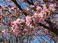 満開の桜♪  〜京極町ふきだし公園〜 - 笑う門には福来たる